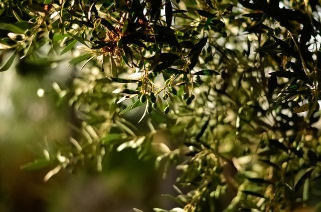 olivar aceites maeva